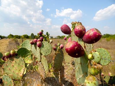 кактусы в испании.jpg