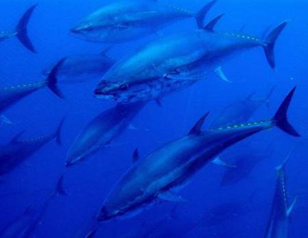 красный тунец.jpg